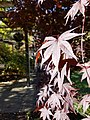 Emperor I Japanese Maple (31124009376).jpg