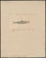 Engraulis heterolobus - 1835 - Print - Iconographia Zoologica - Special Collections University of Amsterdam - UBA01 IZ15100009.tif