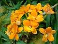 Epidendrum radicans.JPG