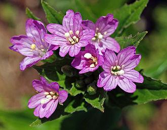 Onagraceae - Image: Epilobium alpestre 2