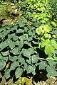 Epimedium pinnatum subsp colchicum kz2.jpg