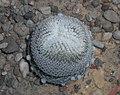 Epithelantha micromeris 2016-04-22 8323.jpg