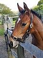 Equus caballus - 012.jpg