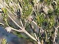 Eremaea ectadioclada (fruits).JPG