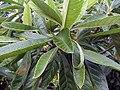 Eriobotrya japonica 1zz.jpg