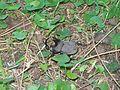 Escarabajoirisfz.JPG