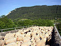 Esclanedes moutons.JPG