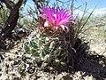 Escobaria vivipara (7462396824).jpg