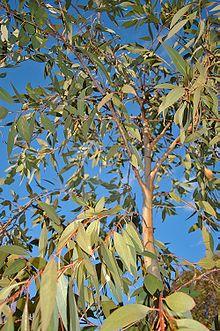 Eucalyptus dives.jpg