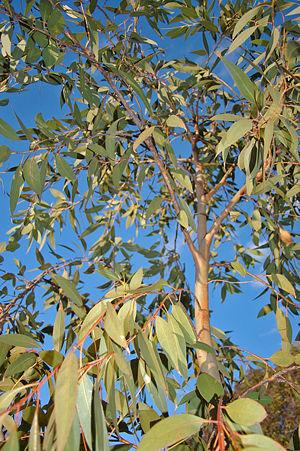 Eucalyptus dives