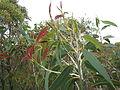 Eucalyptus luehmanniana 1.jpg