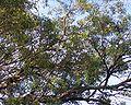 Eucalyptus mahogany Springwood.jpg