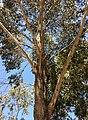 Eucalyptus moluccana - upper branch bark.jpg