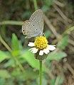 Euchrysops cnejus - Gram Blue 03.jpg