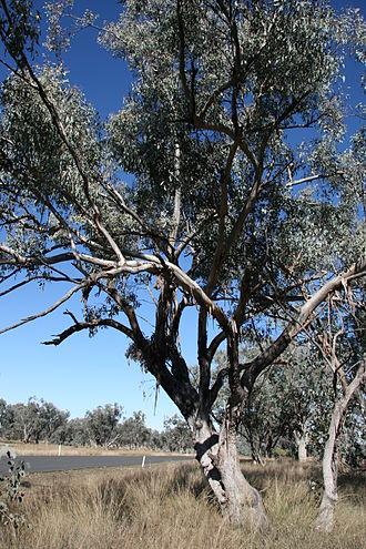 Eucalyptus albens - Eucalytpus albens habit