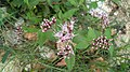 Eupatorium cannabinum, Santa Coloma de Farners.jpg