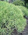 Euphorbia aphylla kz1.JPG