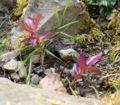 Euphorbia dulcis ies.jpg