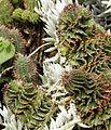 Euphorbia stellispina var stellispina - South Africa 2.jpg