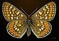 Euphydryas aurinia MHNT CUT 2013 3 26 Clermont le Fort Dorsal.jpg
