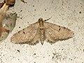 Eupithecia indigata (14057557421).jpg