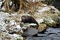 Eurasian otter.3.JPG