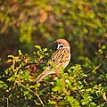 Eurasian tree sparrow 01.jpg