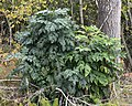 European Ash (Fraxinus excelsior) - Oslo, Norway 2020-09-25.jpg