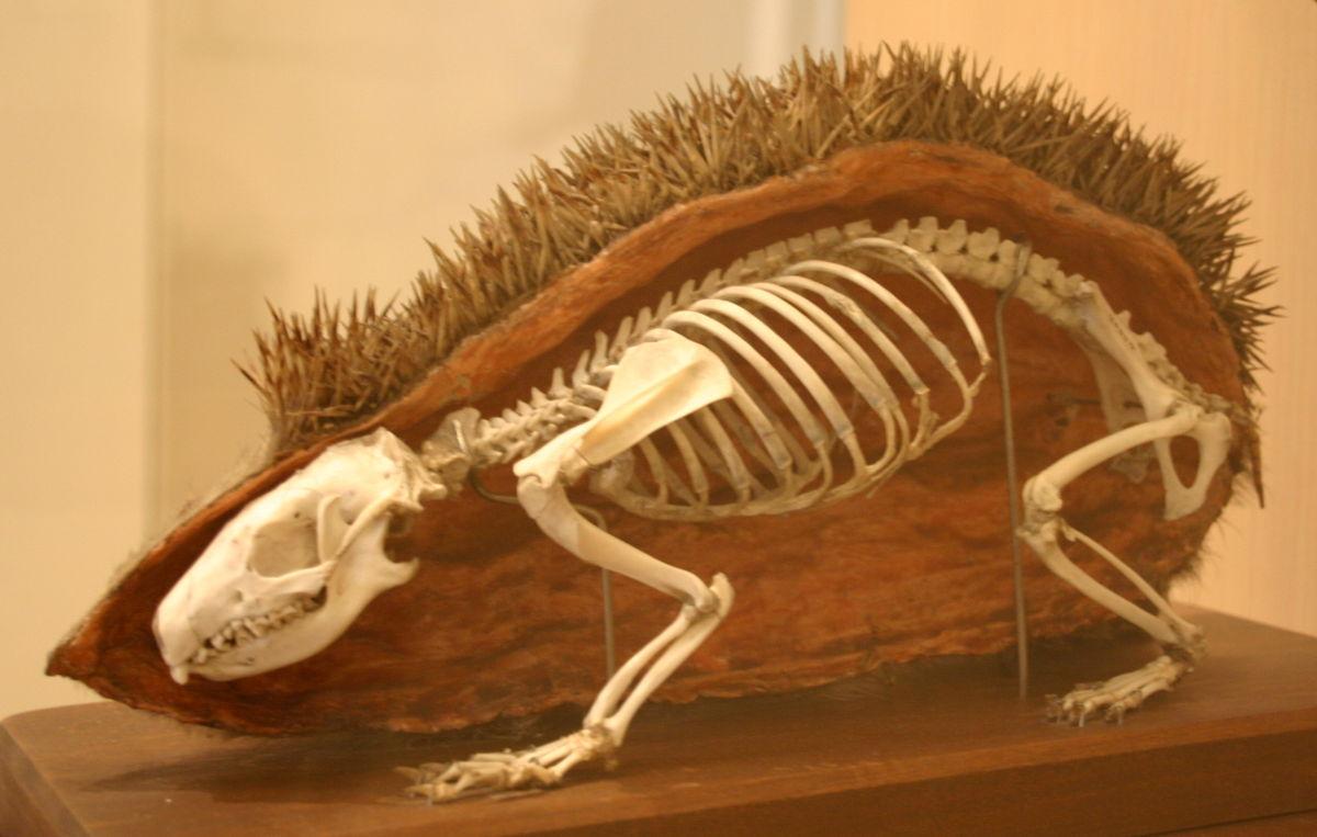 European Hedgehog skeleton.jpg