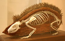 European Hedgehog skeleton.jpg