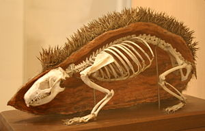 European hedgehog - Skeleton