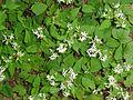 Eurybia divaricata SCA-04312.jpg