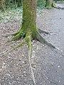 Fagales - Quercus robur - 58.jpg