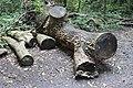 Fagales - Quercus robur - 7.jpg