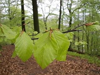 Buk lesný - listy