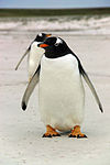 Falkland Islands Penguins 05.jpg