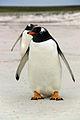 Falkland Islands Penguins 05.jpg