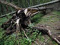 Fallen Tree - panoramio.jpg