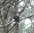 False Cape Great Horned Owl (5662205590).jpg