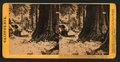 Father of the Forest, and James King of Wm. Mammoth Grove, Calaveras County, by Lawrence & Houseworth.png