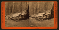 Father of the Forest ; 112 feet circumference, Mammoth Grove, by Lawrence & Houseworth.png