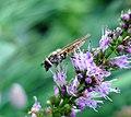 Female. Platycheirus manicatus - Flickr - gailhampshire.jpg