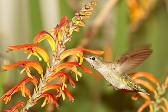 Anna's hummingbird - Image: Female Anna's hummingbird feeding