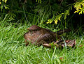 Female Blackbird (7551014334).jpg