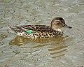 Female Green-winged Teal- Bolsa Chica Wetlands (4412427221).jpg