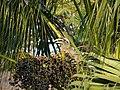 Female Indian Grey Hornbill Eating Palm Fruits 02.jpg