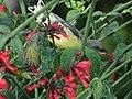 Female Purple Sunbird on a Russelia Shrub 01.jpg