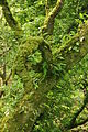 Ferns on tree in North Wood (6377).jpg