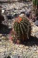 Ferocactus pilosus007.JPG
