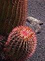 Ferocactus stainesii.jpg